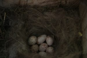 nido con huevos_o