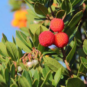 Frutos de madroño comida muy apreciada por los pájaros