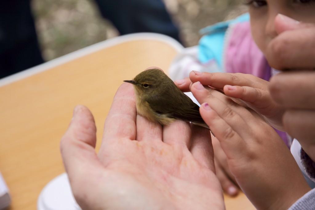 educacion medioambiental anillamiento niños soltando mosquitero comun_o
