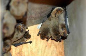 Imagen de un nido de murciélagos. JOAN PUIG