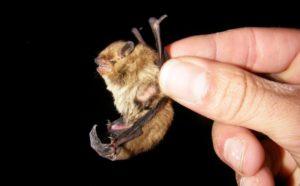 Ejemplar de murciélago soprano (Pipistrellus pymaeus), uno de los más comunes en Barcelona (Xavier Puig)
