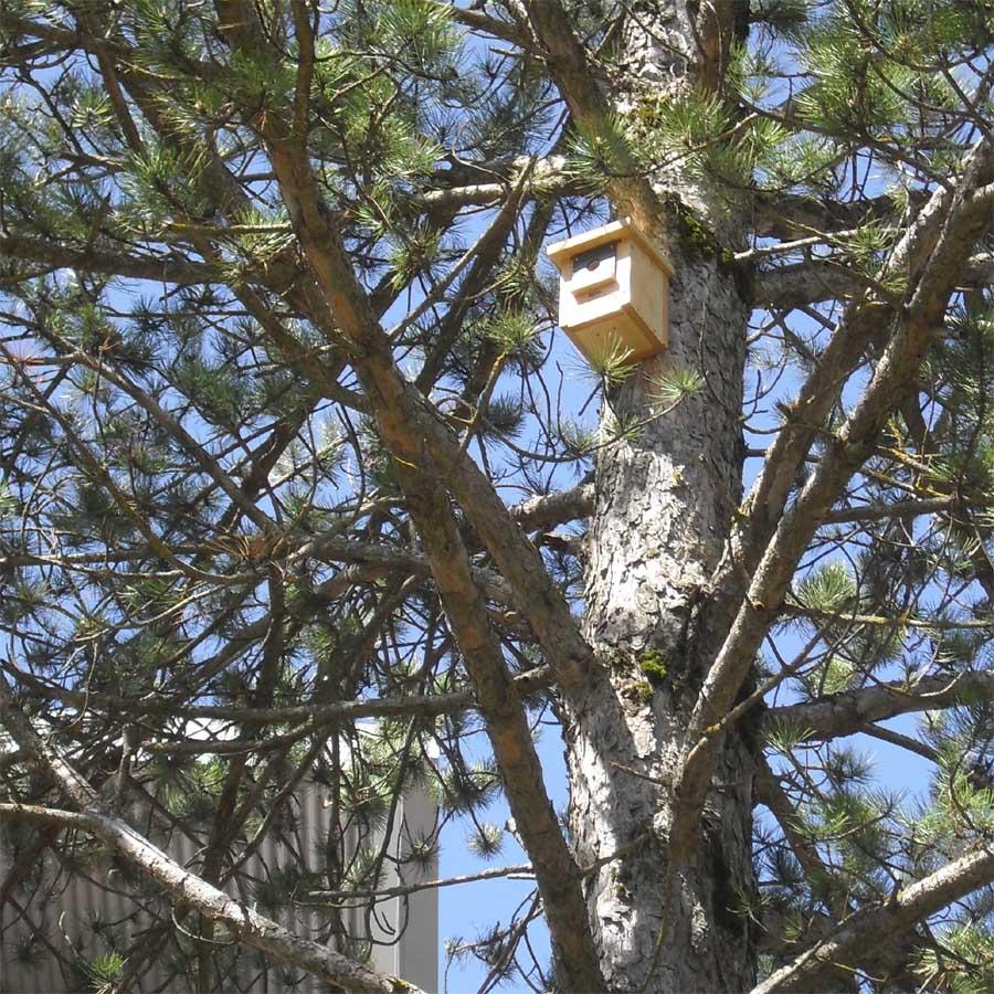 Caja nido CP18 colocada en el un pino en el parque de Sabiñanigo