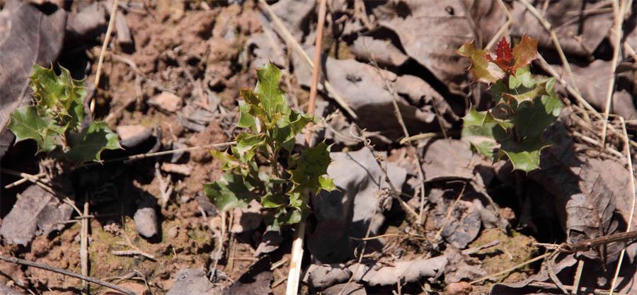 Quercus coccifera 2 de junio de 2016