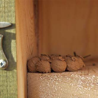 Avispas alfareras en una caja nido de Paridos Cp18