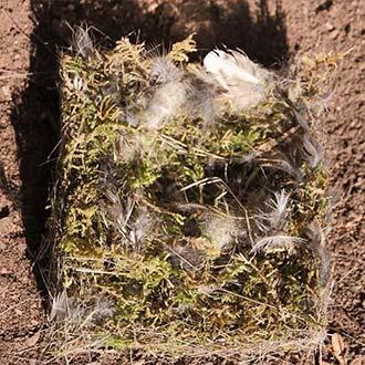 Cama limpiada de una caja nido