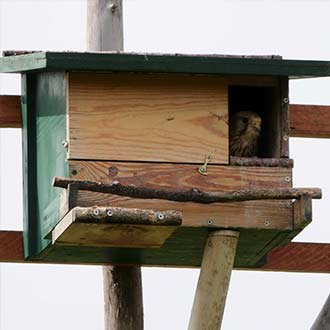 Cernícalo vulgar hembra empollando huevos en caja nido