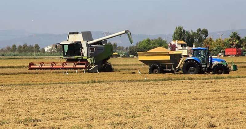 Cosechando el arroz en el delta del Ebro