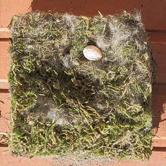 Nido de carbonero limpiado de una caja nido con un huevo que no llegó a término