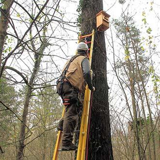 Revisión de caja nido de Autillo Cp83 colocada a 6 metros de altura, con escalera, línea de vida, arnés y casco.