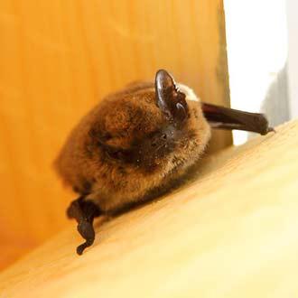 Murciélago pipistrelus pipistrelus en caja nido Cm10