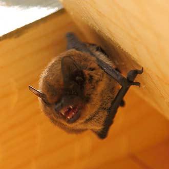 Murciélago pipistrelus pipistrelus en caja nido Cm13