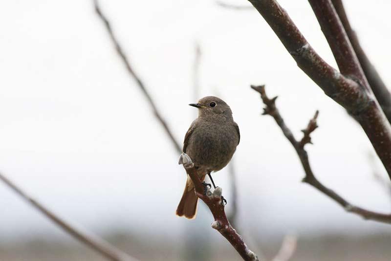 Colirrojo Tizón, habitual que merodea nuestros jardines y parques, anida en cajas nido con frontal abierto