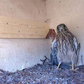 Ultima cría de Cernícalo vulgar en abandonar el nido, en ese caso han ocupado una caja nido de Lechuza europea CP85