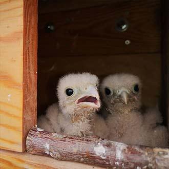 Crías de cernícalo vulgar en una caja nido Cp80
