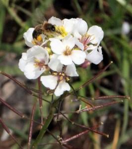 Diplotaxis Euricoides, (rabaniza blanca, jaramago, altrapón), una de las primeras plantas en florecer en invierno , alimento para las abejas y para las aves sus semillas dentro de las vainas.