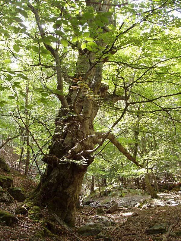 Bosque maduro donde se encuentran oquedades para anidar y refugio por muchas aves, como en este haya.