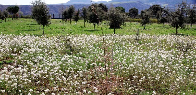 Nuestro campo de experimentación con una parte reservada a Diplotaxis erucoides, hierba que florece a final de invierno y sus semillas son muy apreciadas por todos los Fringílidos.