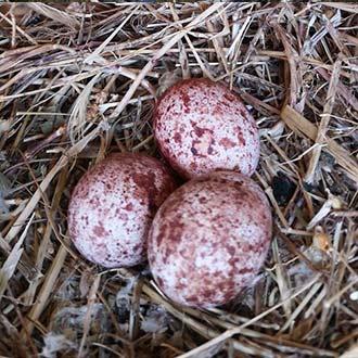 Polluelos de cernícalo vulgar en caja nido