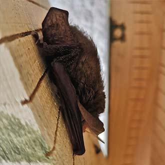 Murciélago orejudo dorado en caja nido Cm12