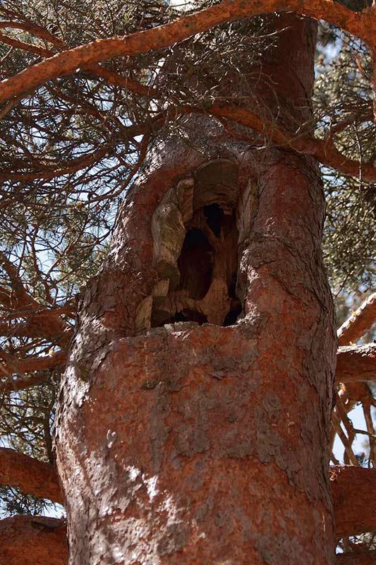 Oquedad en Pinus Syvestris maduro que puede ser aprovechada para anidar por muchas aves trogloditas, desde pequeñas insectívoras a autillos u otras rapaces nocturnas.