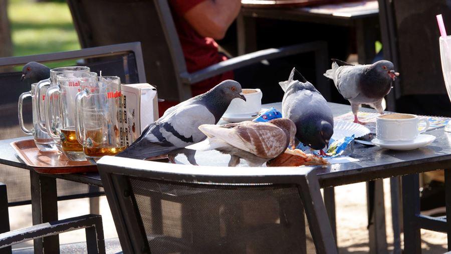 Palomas alimentándose de los desperdicios que dejamos en las ciudades