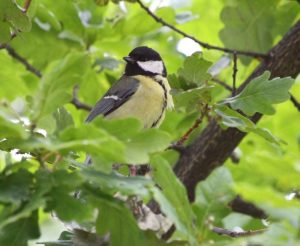 Carbonero Común, especie habitual de nuestros parques y jardines y una de las que más utilizan las cajas nido.