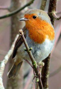Petirrojo Europeo, especie muy habitual y utiliza cajas nido con frontal abierto.